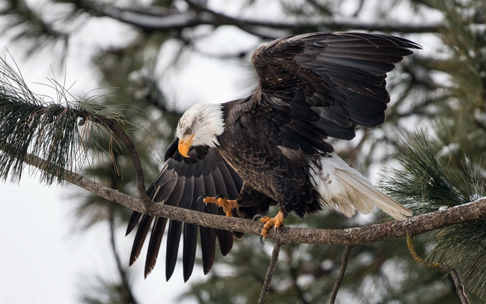 Download Wallpapers Bald Eagle Bird Of Prey Symbol Of The Usa