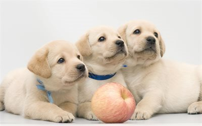 Puppies, retriever, cute animals, labrador Puppies, small dogs