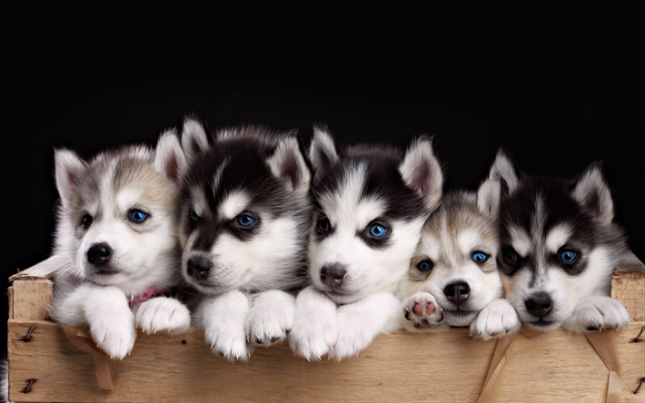Popular Puppy Blue Eye Adorable Dog - thumb2-husky-puppies-small-dogs-blue-eyes-cute-animals-husky  Picture_598687  .jpg