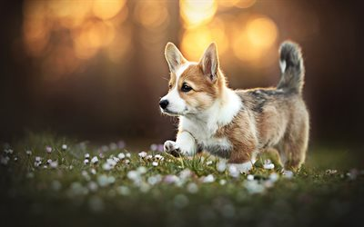 Running Corgi, forest, pets, Welsh Corgi, dogs, bokeh, corgi, cute dog, Welsh Corgi Dog, HDR, Pembroke Welsh Corgi