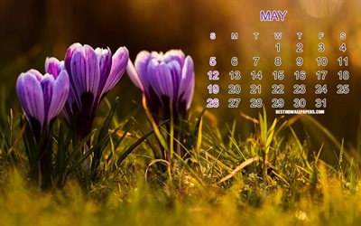 2019 May Calendar, background with crocuses, purple spring flowers, calendar for May 2019, art, floral background, 2019 concepts, calendars