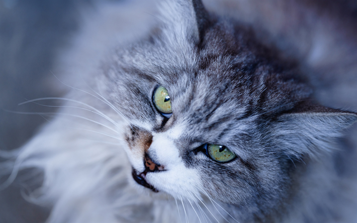 british cat, gray fluffy cat, cute animals, cats, green eyes