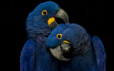 Hyacinth macaw, couple, blue parrots, beautiful blue birds, parrots, blue macaw