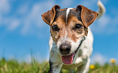 4k, Jack Russell Terrier, close-up, curious dog, pets, dogs, cute animals, Jack Russell Terrier Dog