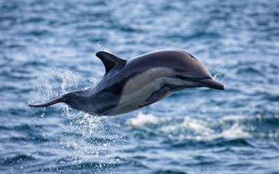 flying dolphin, sea, flight, dolphin above water, wildlife, dolphins, Cetacea