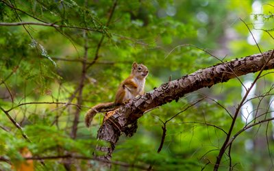 Squirrel, 4k, wildlife, forest, summer, Sciuridae, squirrel on tree