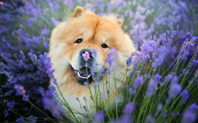 Chow-chow, dogs, лаванда, funny animals