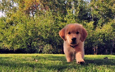 dogs, golden retriever, lawn, small dog, puppy, grass, cute animal, labrador