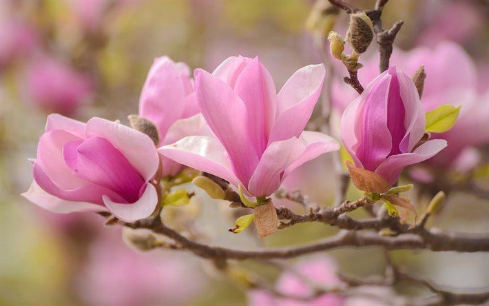 Hintergrundbilder Kostenlos Blumen herunterladen hintergrundbild magnolie frühling blumen rosa