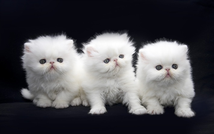 Download Wallpapers Exotic Long Hair Cats White Cats Pets Persian Kittens Exotic Longhair Domestic Cats For Desktop Free Pictures For Desktop Free