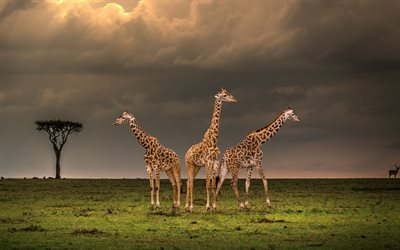 giraffes, evening, sunset, Africa, wildlife, African animals