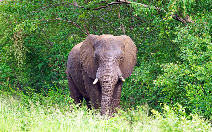Big elephant, Africa, wildlife, african animals, elephants