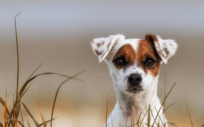 Lataa Kuva Parson Russell Terrier Vahan Hauska Koira Pentu Valkoinen Koira Lemmikit Koirat Jack Russell Terrieri Ilmaiseksi Kuvat Ilmainen Tyopoydan Taustakuvaksi
