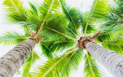 large green palm leaves, bottom view, coconuts, palm trees, tropical islands