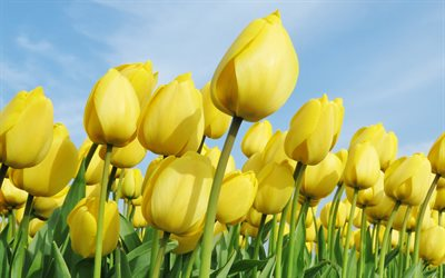 yellow tulips, yellow flowers, field of tulips, spring, Netherlands, tulips