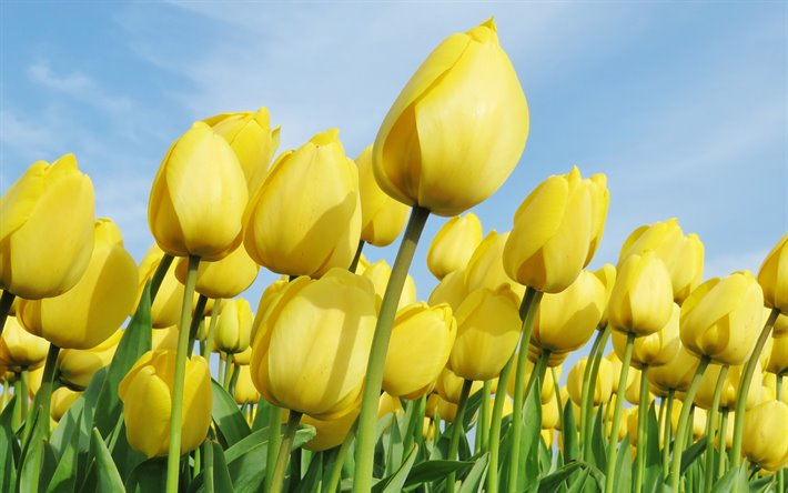 Download Wallpapers Yellow Tulips Yellow Flowers Field Of Tulips Spring Netherlands Tulips For Desktop Free Pictures For Desktop Free
