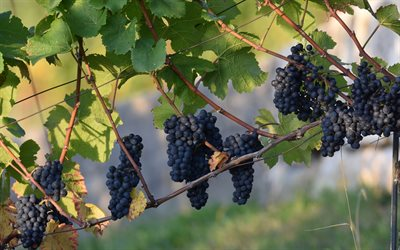 vineyard, bunches of grapes, fruits, grapes, grape harvest
