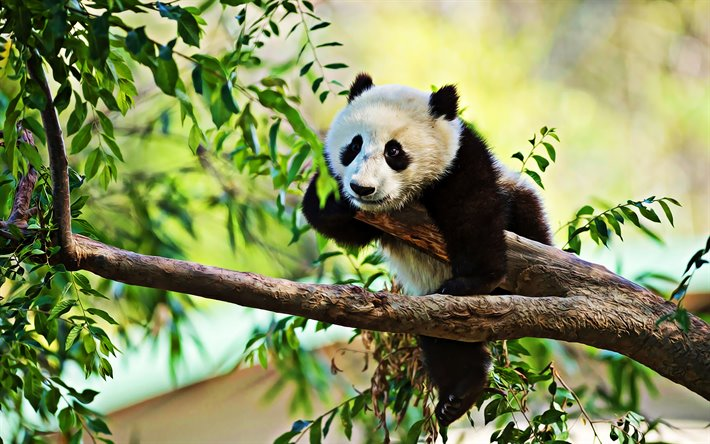 sleeping small panda, wildlife, baby panda, Ailuropoda melanoleuca, cute animals, panda on branch, panda