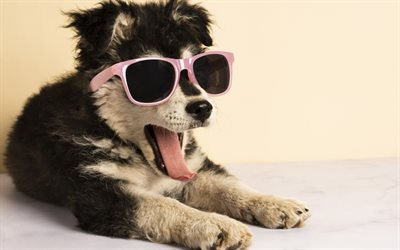 funny puppy, husky, puppy in sunglasses, cute animals, small dogs, puppies
