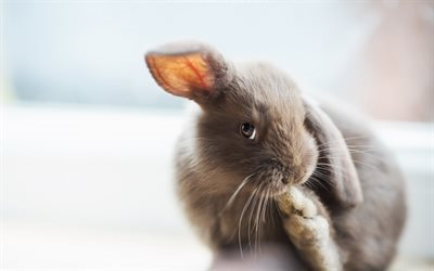 bunny, gray rabbit, pets, cute bunnies