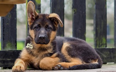 Puppy, shepherd, cute animals, small dog