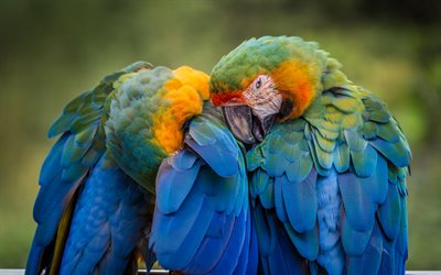 Catalina macaw, parrots, beautiful birds, macaw, colorful parrot