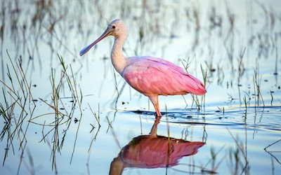 Roseate Spoonbill, Ajaia, wildlife, exotic birds, Platalea ajaja, pink birds, bird on lake