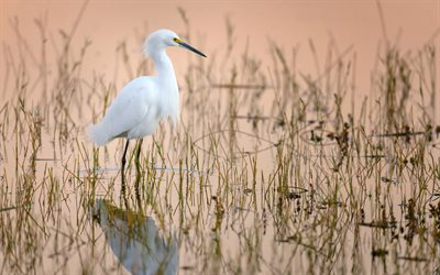 Snowy Egret, 4k, wildlife, exotic birds, white heron, white birds, Egretta thula, bird on lake