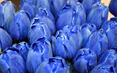 blue tulips, tulip buds, blue flowers, tulips, spring flowers, background with blue tulips