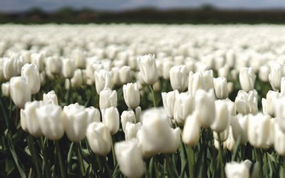 white tulips, spring flowers, tulips, wildflowers, field with white tulips, White flowers