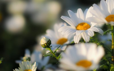 daisies, summer, sunset, bokeh, close-up