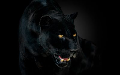panther, black jaguar, wild cat, black panther, dangerous animals, panther on a black background