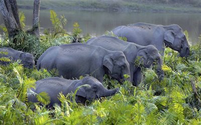 Asian elephant, herd of elephants, gray elephants, wildlife, little elephant, family, elephants, Kaziranga National Park, India