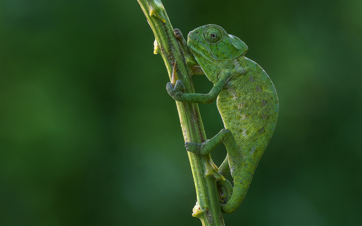 chameleon, lizard on a branch, green lizard, green chameleon