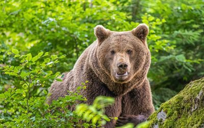 bears, predators, zoo, brown bears