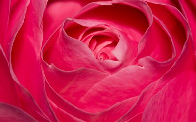 rosa cor de rosa, bud, close-up, rosas