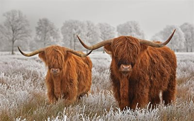 Highland cattle, scottish cow, long-haired Scottish cattle, Highland cow, England, wildlife