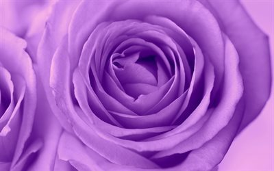 purple rose, rose, bourgeon, fleur pourpre