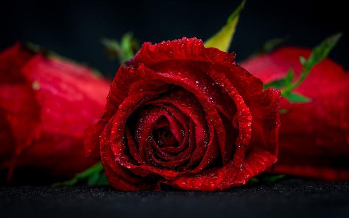 تحميل خلفيات وردة حمراء قطرة الماء زهرة حمراء البرعم خوخه لسطح