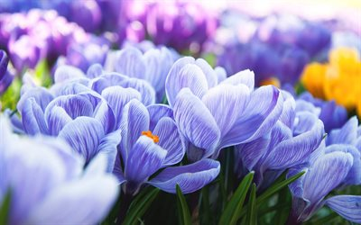 crocuses, purple flowers, flowering, wildflowers