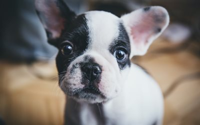 French Bulldog, small dog, puppy, pets, cute animals