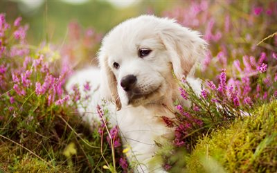 golden retriever, 4k, labrador, puppy, cute dog, small labrador, cute animals