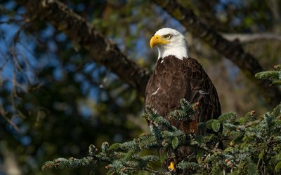 bald eagle, bird of prey, USA symbol, birds of North America, eagle, wildlife