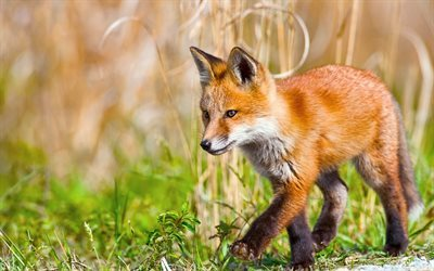 fox, cub, wildlife, predators, grass