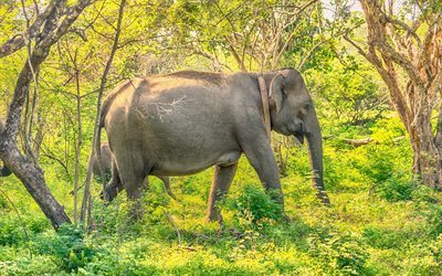 elephant, jungle, Sri Lanka, forest
