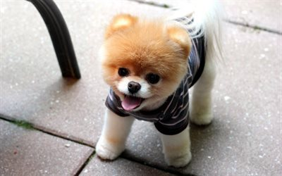 pomeranian, dogs, boo, puppies, cute animals