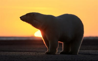 polar bear, winter, north, sunset, bears