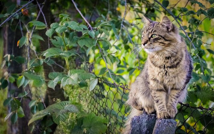 t l charger fonds d 39 cran l 39 american bobtail duveteux gris chat cl ture animaux de compagnie. Black Bedroom Furniture Sets. Home Design Ideas