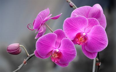 Orchid, branch of orchid, tropical flowers, pink orchid