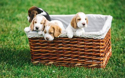 t l charger fonds d 39 cran beagle chiots animaux mignons panier l 39 herbe verte pour le bureau. Black Bedroom Furniture Sets. Home Design Ideas